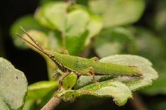 在一片绿色叶子的一只绿色蚂蚱 免版税库存照片