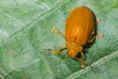 在一片绿色叶子的叶子甲虫 免版税库存图片