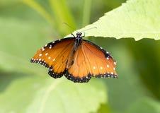 在一片绿色叶子的女王蝴蝶 免版税图库摄影