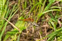 在一片绿色叶子的宏观蜻蜓昆虫 库存照片