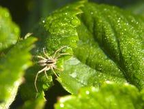 在一片绿色叶子的小的蜘蛛 库存图片