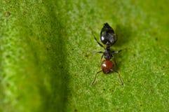 在一片绿色叶子的工作的蚂蚁 免版税图库摄影