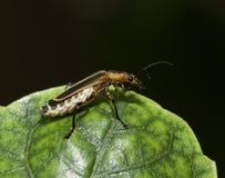 在一片绿色叶子的战士甲虫 库存图片