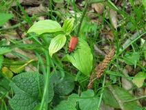 在一片绿色叶子的橙色甲虫 免版税库存照片