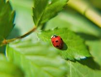 在一片绿色叶子的瓢虫在一个晴天 免版税库存照片