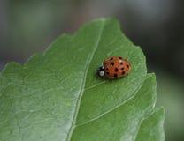 在一片绿色叶子的瓢虫 免版税库存照片