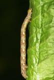 在一片绿色叶子的稀薄的无毛的毛虫 库存图片