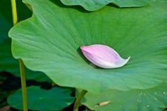 在一片绿色叶子的莲花瓣用水滴下 库存照片