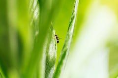 在一片绿色叶子的蚂蚁 库存图片
