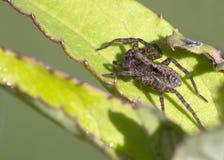 在一片绿色叶子的蜘蛛天猫座 库存图片