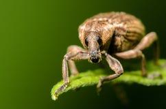 在一片绿色叶子的象鼻虫 免版税库存图片