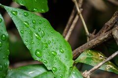 在一片绿色叶子的雨 绿色叶子特写镜头自然视图有警察的 免版税库存图片