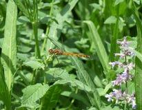 在一片绿色叶子的蜻蜓在阳光下 库存图片