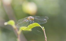 在一片绿色叶子的蜻蜓 免版税库存照片