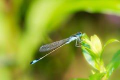 在一片绿色叶子的Bluetail蜻蜓 免版税库存图片