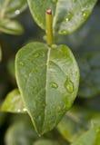 在一片绿色叶子的Waterdrops 免版税库存照片