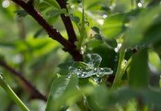 在一片绿色夏天叶子的雨珠 免版税库存图片