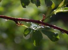 在一片绿色夏天叶子的雨珠 库存照片