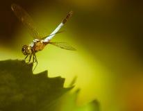 在一片绿色莲花叶子的蜻蜓 库存照片