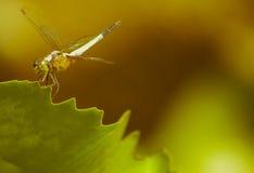 在一片绿色莲花叶子的蜻蜓 库存图片