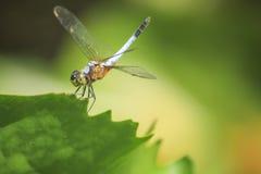 在一片绿色莲花叶子的蜻蜓 免版税库存图片