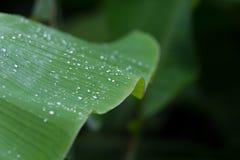 在一片绿色香蕉叶子的一场风暴以后下雨小滴有selectiv的 免版税库存照片