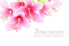 在一白色backgr隔绝的桃红色木槿或中国人玫瑰色花 免版税库存照片