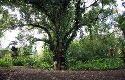 在一百棵年芒果树前面的人手倒立 免版税库存照片