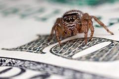 在一百美元的跳跃的蜘蛛 库存照片