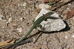 在一石2的蜥蜴 图库摄影