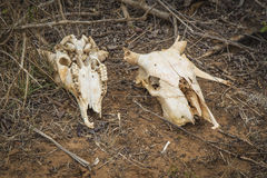 在一种古老仪式的两块封牛头骨在马达加斯加 免版税图库摄影