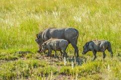 在一种比赛储备的逗人喜爱的非洲warthog在南非 免版税库存照片