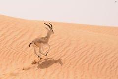 在一种自然储备的沙子瞪羚在迪拜沙漠-阿拉伯联合酋长国 免版税库存照片