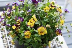 在一种黑金属的五颜六色的蝴蝶花在一张白色桌上用桶提 免版税库存照片