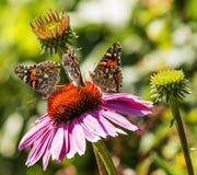 在一紫色coneflower的三只被绘的夫人蝴蝶 库存照片
