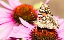 在一紫色coneflower的被绘的夫人蝴蝶 免版税库存照片