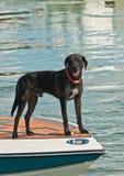 在一艘快速汽艇的弓的狗身分在热带小游艇船坞的 免版税库存照片