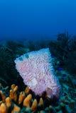 在一起生活在珊瑚礁的桃红色花瓶和管海绵、珊瑚和蓝色鱼特写镜头  免版税图库摄影