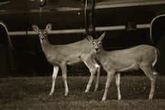 在一辆黑卡车前面的两只小鹿 免版税库存图片