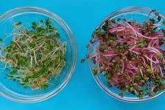 在一透明sprouter的新鲜的萝卜和芝麻菜新芽,蓝色 免版税库存图片