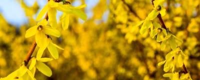 在一黄色花卉背景bokeh panoram的黄色花 库存照片