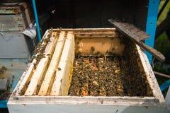 在一间开放蜂房的许多蜂 免版税库存照片