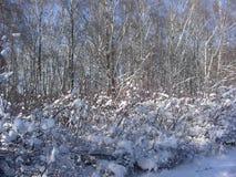 在一晴朗的冷淡的天灌木被包裹,收集雪 免版税库存照片
