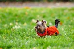 在一件红色球衣的逗人喜爱的约克夏狗小狗在绿草跑 免版税库存图片