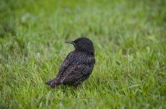 在一绿色草坪观看的黑鹂 免版税图库摄影