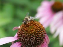 在一紫色coneflower的蜂 免版税库存图片