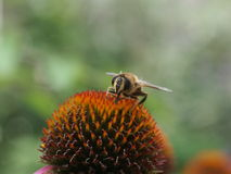 在一紫色coneflower的蜂 免版税库存照片