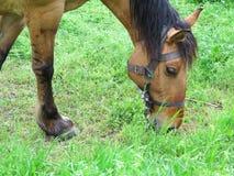 在一绿色meadoq的布朗马在夏日 图库摄影