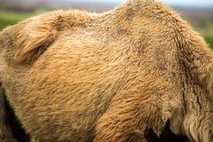 在一头骆驼的老羊毛作为背景 免版税库存照片