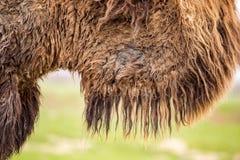 在一头骆驼的老羊毛作为背景 免版税库存图片